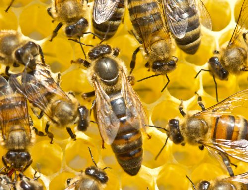 Un anno nell'alveare: come si diventa (ape) regina
