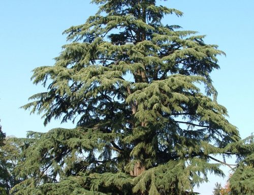 Rohan, il cedro dell'Himalaya custode arboreo dell'Eremo ElGram